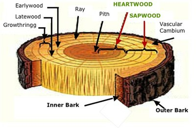 parts of a tree cookie diagram cw perry middle school. Black Bedroom Furniture Sets. Home Design Ideas